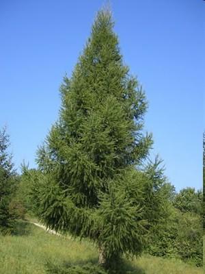 дерево лиственница фото