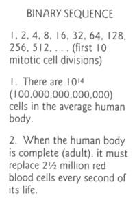 Бинарная последовательность. это митоз, в котором просто каждое следующее число...